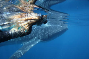 Swimming with Whale Sharks in...