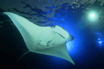 Manta Ray Night Snorkel Big Island Hawaii