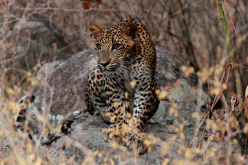 Private Full day Leopard Safari with...