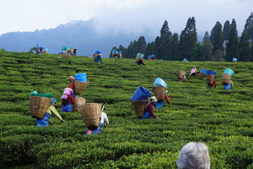 Private Tea Plucking and Tea factory ...
