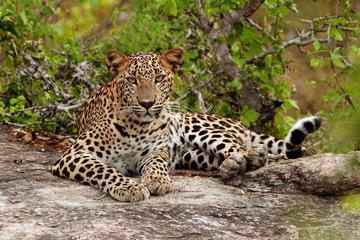 Safari privé de léopards avec hébergement en tente de luxe