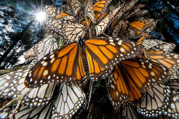Monarch Butterfly Sanctuary Day Tour from Mexico C