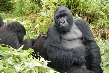 5 Day Cozy Encounter with Volcano Silverback Mountain Gorillas and...