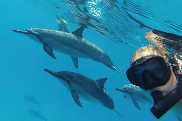 Delfines salvajes y buceo de superficie por los corales