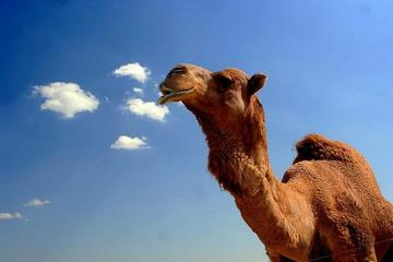 1-Hour Camel Ride Guided Tour from Agadir