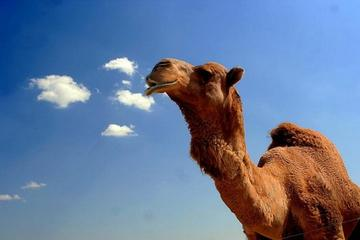 2-Hour Camel Ride Guided Tour from Agadir