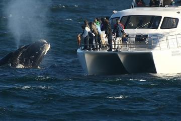 Observation des baleines depuis un bateau au départ de Hermanus