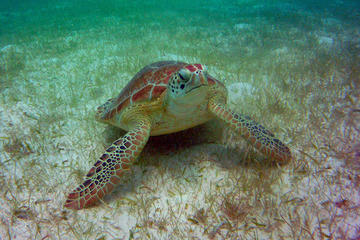 AkumalMarine Turtle Daily Tour