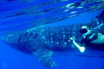 Excursão com tubarões-baleia saindo...