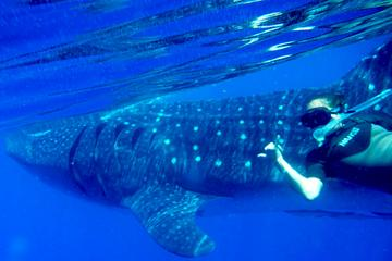 Whale Shark Tour from Cozumel