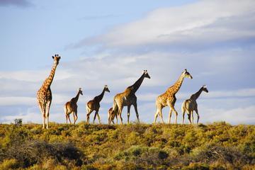 Big 5-safaritour vanuit Kaapstad