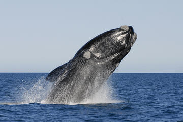 Full-Day Whale Watching in Hermanus...