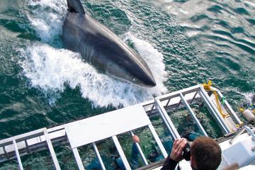 Plongée en cage avec des grands requins blancs à Gansbaai depuis Cape...