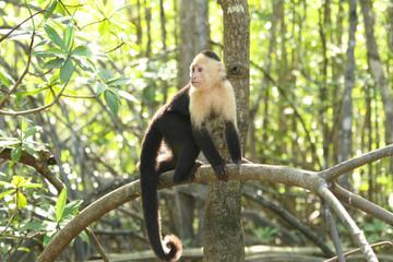 Mangrove Monkey Tour from Jaco