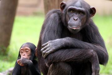 Ganztägige Tour: Chimp Eden und...