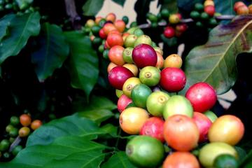 Coffee Plantation Tour from San Juan