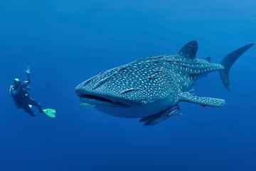 Aventure de nage avec les requins-baleines à Cancun