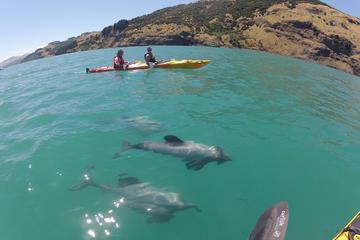 Safari en kayak al amanecer con la fauna marina en Akaroa