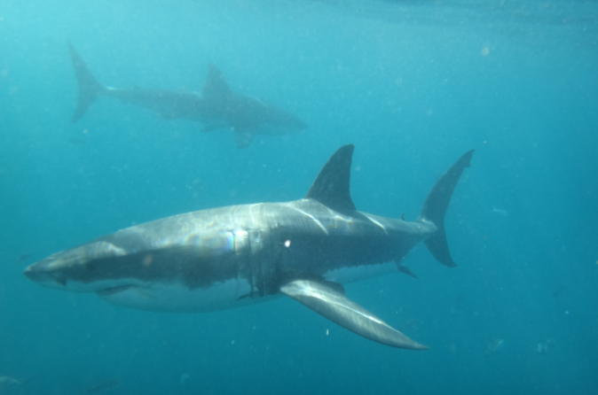 Half day white shark cage diving from gansbaai in gansbaai 200025