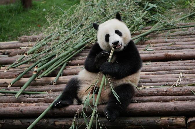Half-Day Tour at Chengdu Panda Breeding Research Base