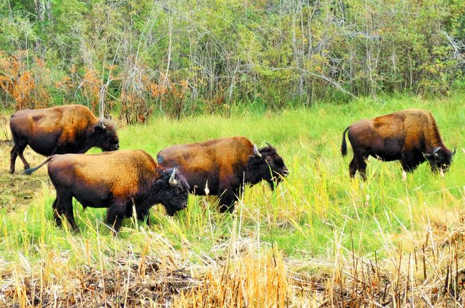 Mountain buffalo half day tour from yellowknife in yellowknife 224106