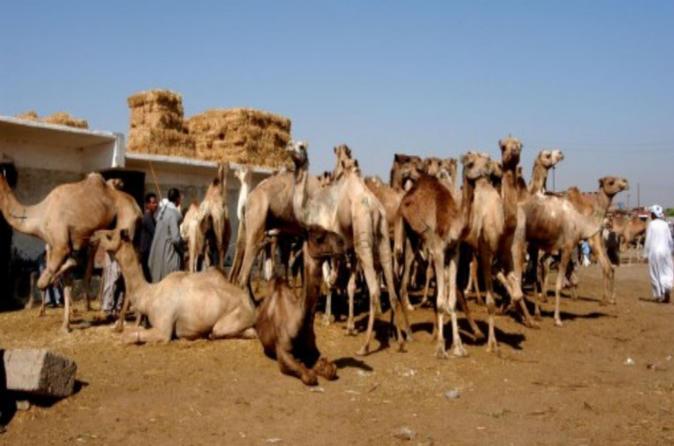 Tour to Camel Market of Birqash