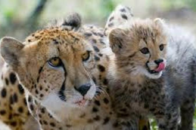 Ann van dyk cheetah centre tour from johannesburg or pretoria in pretoria 309005