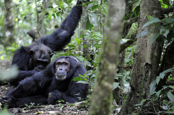 10 Days Classic Uganda Primate Tour and Community Work