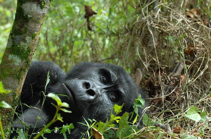 3 day rwanda gorilla safari in kigali 242002