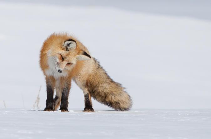 Winter Half-Day Wildlife Safari From Jackson Hole