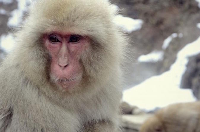 See Snow Monkeys on a Private Day Trip from Tokyo by Bullet Train
