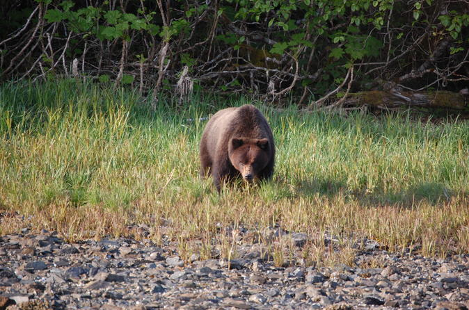 Chichagof island tour brown bear search in hoonah 257689