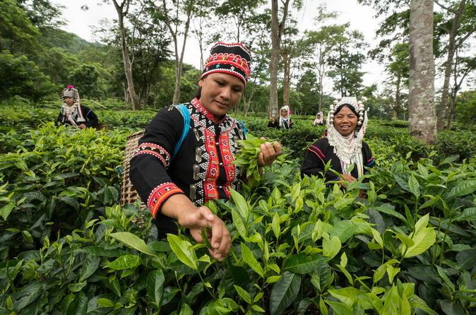 Araksa Tea Plantation Tour from Chiang Mai