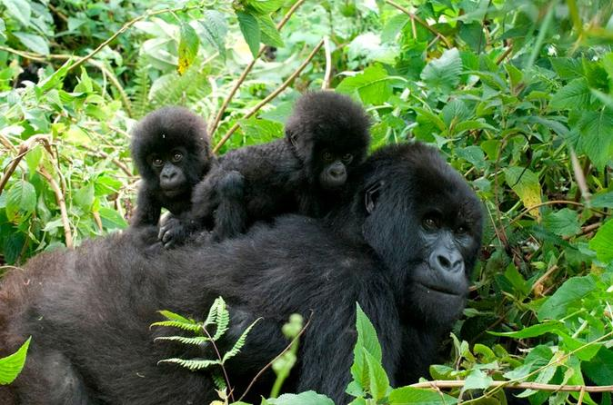 3 Days Gorilla Trekking to Bwindi