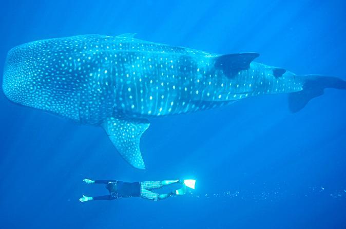 Whale Shark Encounter in Cabo San Lucas