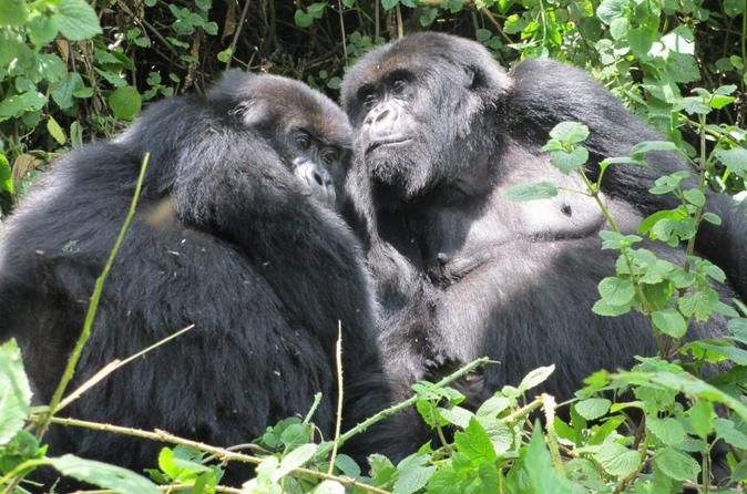 Gorilla trekking and wildlife game drives in rwanda and burundi in kigali 219734
