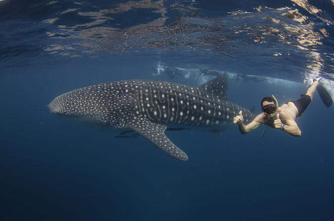 Ningaloo reef whale shark snorkeling adventure from exmouth in exmouth 275675