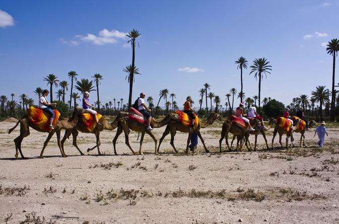 Camel ride in the palm grove of marrakech in marrakech 235798