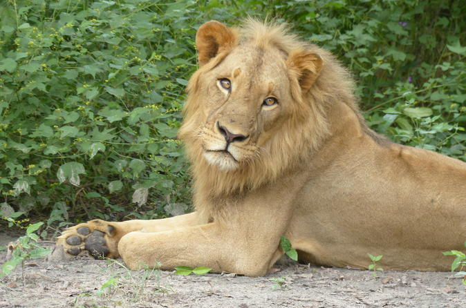 Private full day lion walk in senegal from banjul in banjul 261536