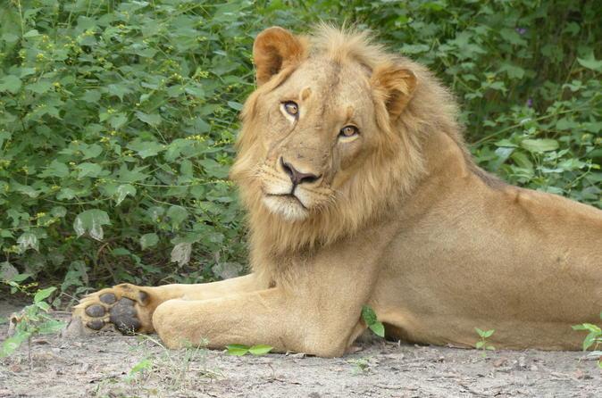 Private full day lion walk in senegal from banjul in banjul 261536