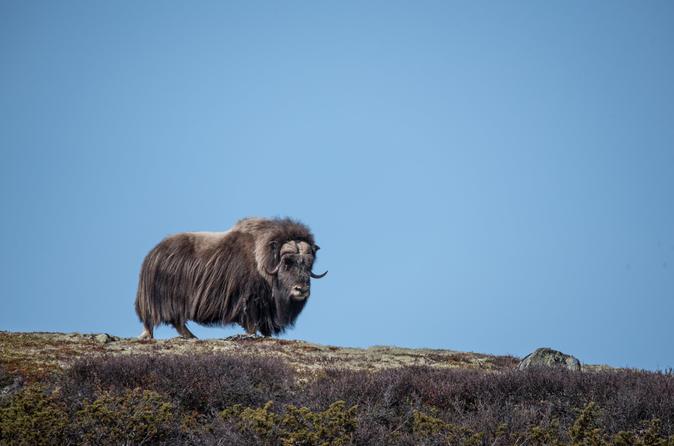 Musk Ox Safari in Dovrefjell National Park from Oppdal