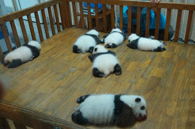 Private Chengdu Experience: Giant Pandas and the Sanxingdui Museum