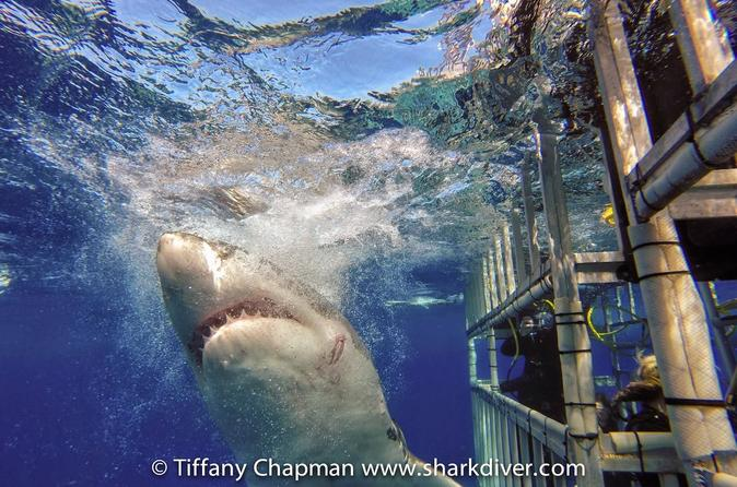 5-Day Great White Shark Dive Adventure