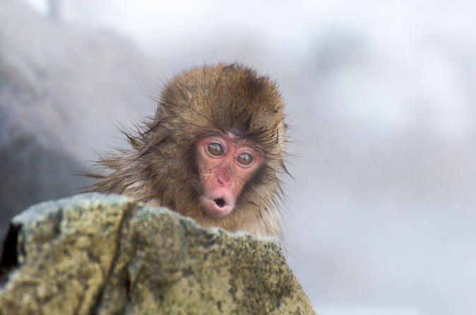 Explore Jigokudani Snow Monkey Park and Taste Local Sake