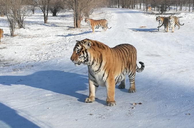 Full Day Private Tour to Harbin Ice and Snow Festival Plus Siberian Tiger Park