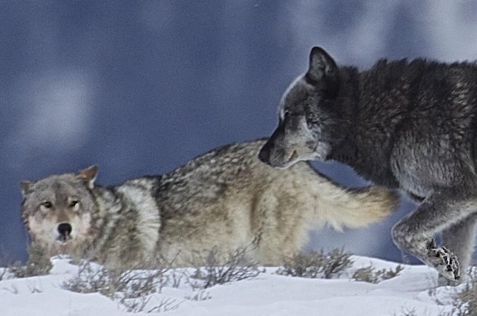 Private Wolf And Wildlife Winter Tours In Yellowstone