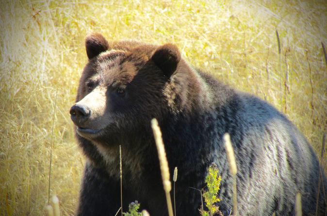Private Yellowstone Wildlife Tour