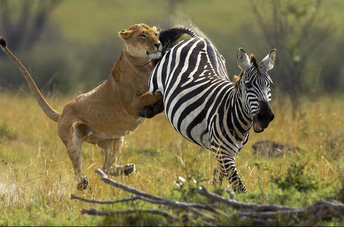 6-Day Masai Mara, Lake Nakuru and Amboseli Great Safari Tour from Nairobi