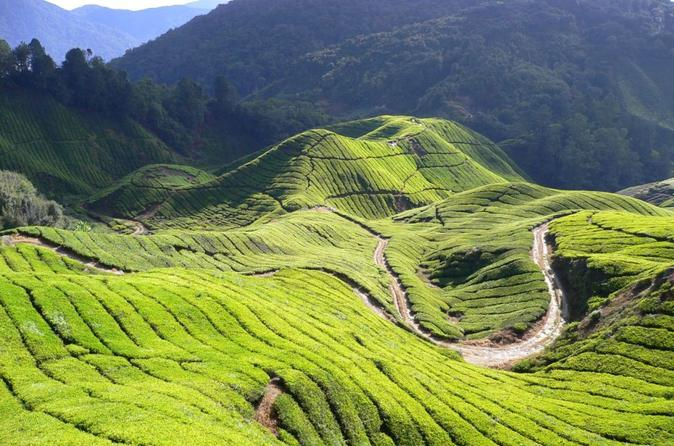 Private Tour: Full-Day Cameron Highlands with Batu Caves Including Local Lunch from Kuala Lumpur