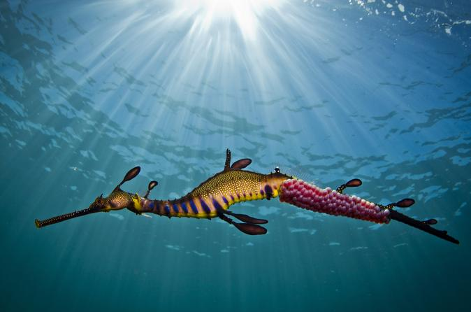 Port phillip bay snorkeling with sea dragons in mornington 317962